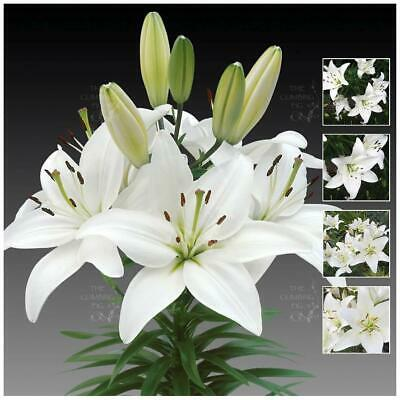 """Lilium Hybrid """"White Asiatic Lily"""" Seeds. Cut flower, ideal for pots or garden!"""