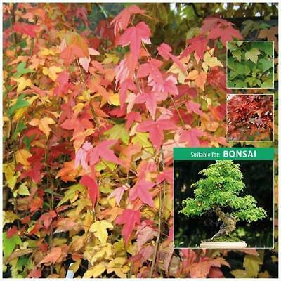 """ACER TRIFIDUM """"Trident Maple"""" seeds. Stunning feature tree. Suitable for Bonsai."""