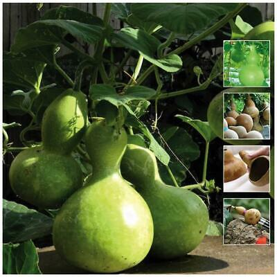 "GOURD ""Mini Bottle"" seeds. Have fun growing your own gourds. Free postage."