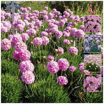 """ARMERIA """"Sovereign Pink™"""" seeds. PINK Agapanthus like heavy flowering perennial!"""