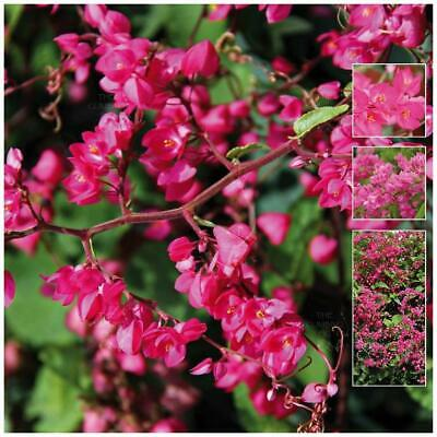 "ANTIGONON ""Cherry Blossom™ Coral Vine"" seeds. Purple flowers, evergreen climber."