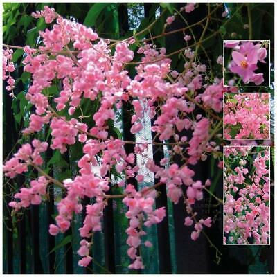 "ANTIGONON ""Apple Blossom™ Coral Vine"" seeds. Purple flowers, evergreen climber."