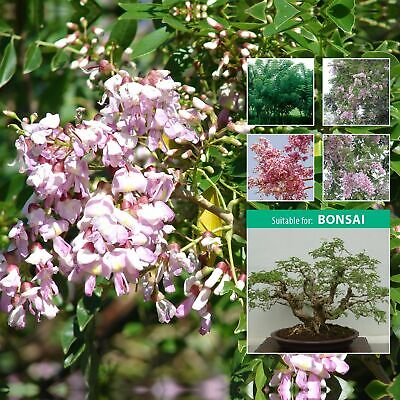 """GLIRICIDIA tree """"Mexican Pink Lilac"""" seeds. Robinia tree for landscape or bonsai"""