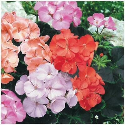 "Geranium ""Black Velvet Series™"" seeds. Exquisite velvety BLACK leaved geraniums."
