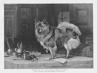 CHARLES BURTON BARBER Marco the Dog on Queens Breakfast Table-Antique Print 1893