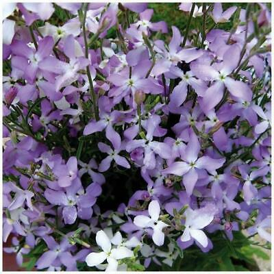"""MATTHIOLA """"Evening Scented Lilac Stock™"""" seeds. Exotic orchid-like mauve flowers"""
