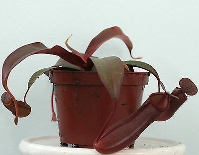 "NEPENTHES SANGUINEA (Highland tropical pitcher)live carnivorous plant in 3½"" pot"