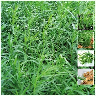 "Tarragon ""Estragon Sativa"" seeds 