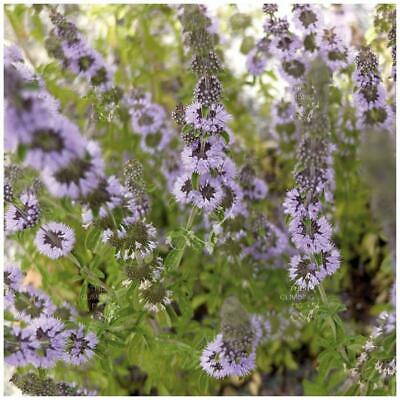 """Mentha """"English Pennyroyal"""" seeds 