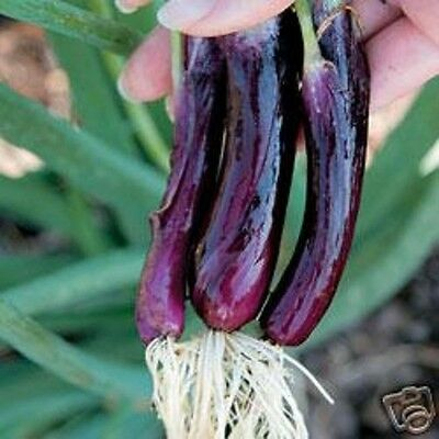 LILIA PURPLE SPRING ONION SEED AP100 SEED 99p +FREEPOST