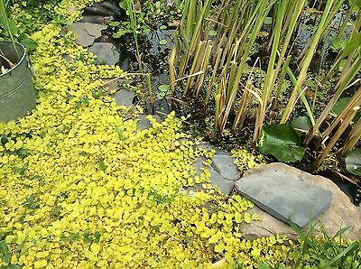 POND CREEPING JENNY KOI POND PLANT AQUATIC PLANT cuttings ready For you to Root