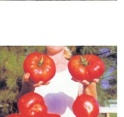 GIANT Delicious Tomato 10 Seeds World Record 7 lbs 12 oz! BIG HEIRLOOM Non-GMO
