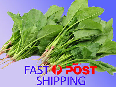BABY SPINACH 50 seeds baby excellent winter plant