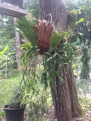 Extremely Rare USA Grown Platycerium Coronarioum (Philippines) Staghorn fern