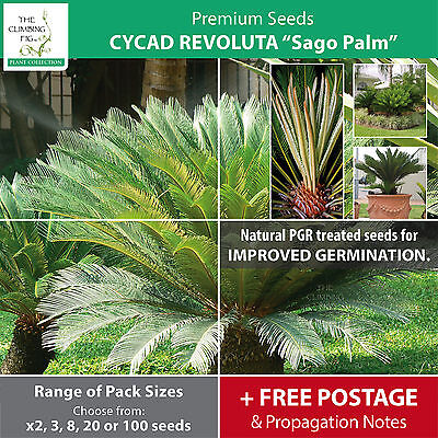"Cycad Revoluta ""Sago Palm"". High quality seeds of premium landscape cycas!"