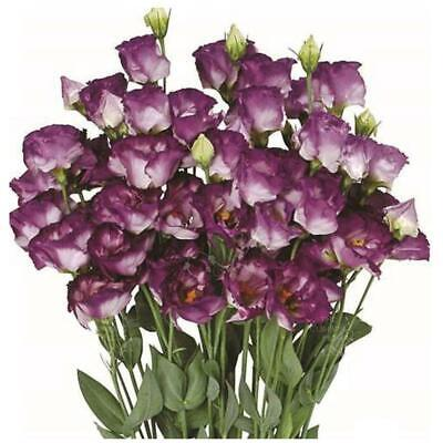"LISIANTHUS ""Purple Feather"" pelletised seeds. Modern bicolour cut flower variety"