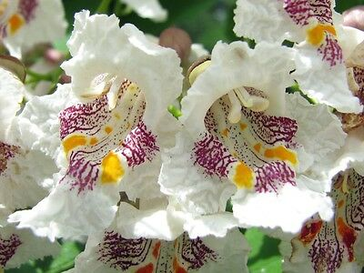 "NORTHERN CATALPA ""Speciosa"" ~Big Trumpet shaped White Flowers~   Perennial SEEDS"