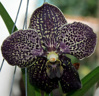 Black Orchid x 100 ml fragrance oil, for candles, melts, soap, burners.