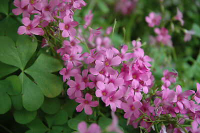 Oxalis Wood Sorrel 'Rosea'Pink flowers {crassipes} 1-Bulb Winter hardy Clover