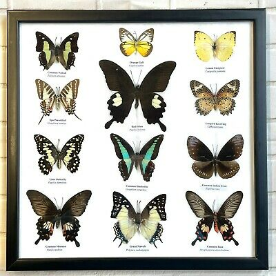 12 Framed Butterflies Taxidermy Insect Wooden Picture Frame Genuine Specimens
