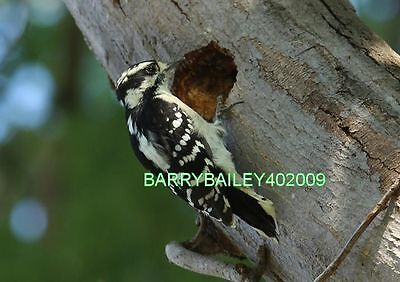 Digital Picture Image Photo Screensaver Desktop Wallpaper #70Downywoodpecker