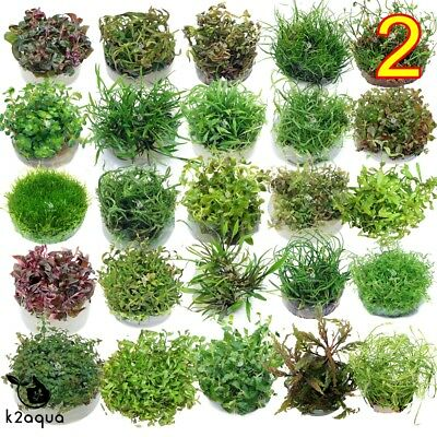 Live Aquarium Plants IN VITRO 2 Aquatic Tropical Fish Aquascaping Carpet InVitro
