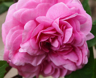 Clearance Pink Petals 100 ml fragrance oil, making candles melts soap burners