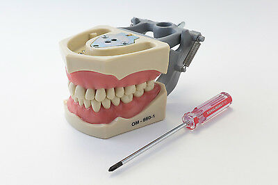 Dental Anatomy Typodont Educational Model 860 Removable Teeth NBDE NERB ADEX