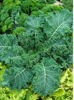 Heirloom CANOLA RAPE Kale BULK (1oz)❋10,000+ SEEDS❋Early❋BUY 10 FREE SHIPPING
