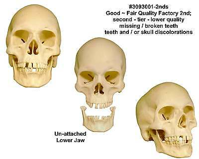 Human Skull Replica - Economy-Factory 2nd Tier - Good Quality: From USA
