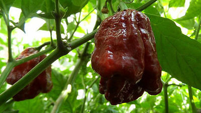 15 seeds Chocolate/Brown Trinidad Moruga Scorpion Hot pepper Extreme Rare Fresh