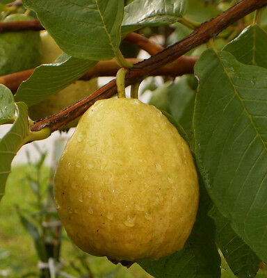 Florida Tropical White/Yellow Pear Guava Fruit Tree 10 Seeds