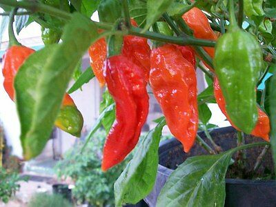 Bhut Jolokia Hottest  Chilli  Naga- hot chili pepper  – 10 finest seeds