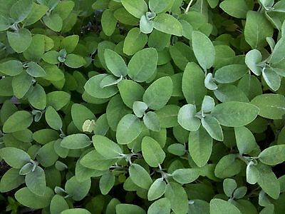 SAGE SEEDS - (Salvia Officinalis) - HERB - PLANT - HERB GARDEN - GROW YOUR OWN