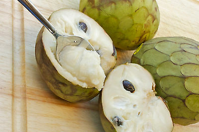 Apple Annona cherimola the most delicious fruit known to mankind - 5 seeds