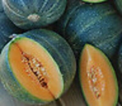 Melon Heirloom Seed FRENCH PETIT GRIS de RENNES 35 SEEDS Very Sweet Cantaloupe