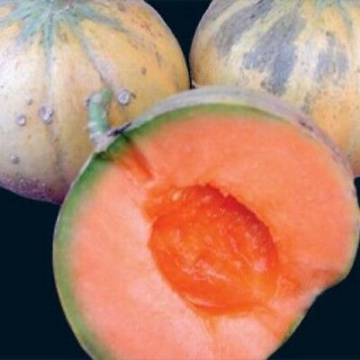 Heirloom French CHARENTAIS MELON Cantaloupe✽100 SEEDS✽Sweet✽FlatRate COMBINE S/H
