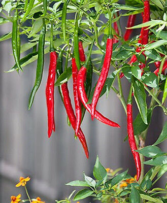 Uk Vegetable  Seeds- Hot Chilli Pepper – Cayenne Red Long Slim 10 Finest Seed