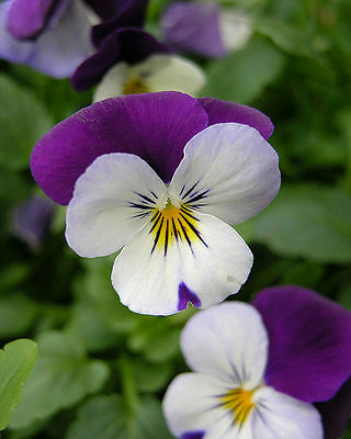 ✿VIOLA JOHNNY JUMP-UP✿1000 Seeds✿Edible Garnishes✿Cold Hardy✿Fragrant Flowers