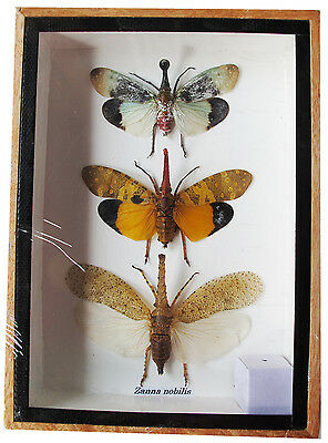 REAL 3 MIXS ZANNA NOBILIS INSECT TAXIDERMY SET IN BOXES DISPLAY FOR COLLECTIBLES