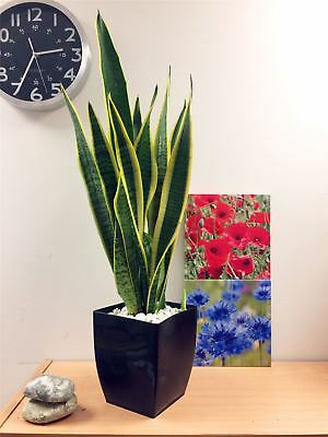 Pot Of Snake Plant Mother In Law's Tongue Good Luck Evergreen Tree Indoor Office