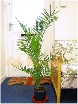 1 Phoenix Canary Island Date Palm in Pot Indoor Outdoor Tree Ornamental Plant