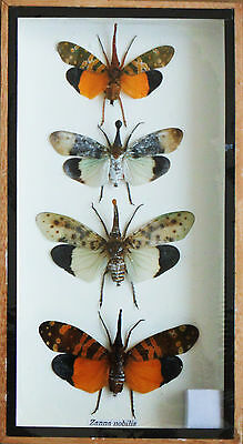 REAL 4 MIXS ZANNA NOBILIS INSECT TAXIDERMY SET IN BOXES DISPLAY FOR COLLECTIBLES