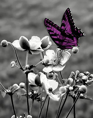 Black White Purple Butterfly On Flower Photography Home Wall Art Picture