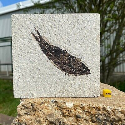 Knightia alta Fossil Fish in Matrix from USA - Eocene Period - FSE084