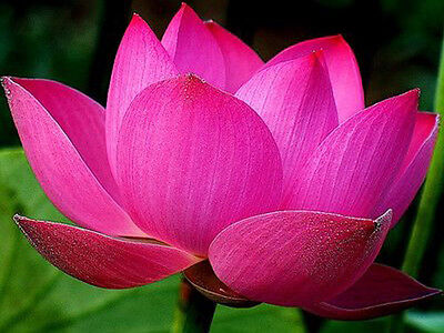Bowl lotus/water lily flower /bonsai Lotus / 5 Fresh seeds/pink color