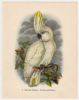 BLUE EYED COCKATOO PLATE LITHOGRAPH GOULD TROPICAL BIRDS vintage 1948 PRINT