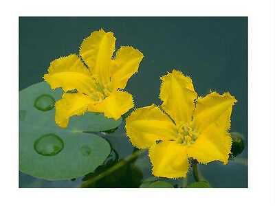 2-Yellow Floating Heart  Mini Lily Plant Winter Hardy Shipped Dormant