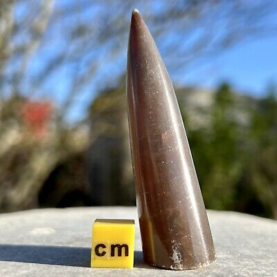 Cylindroteuthis sp. Belemnite Fossil from UK - Jurassic Period - FSE243
