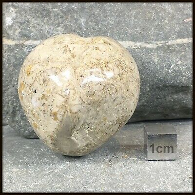 Fossil Micraster echinoid from Spain - FSE281